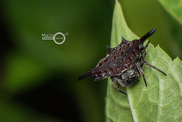 Gasteracantha diardii ♀