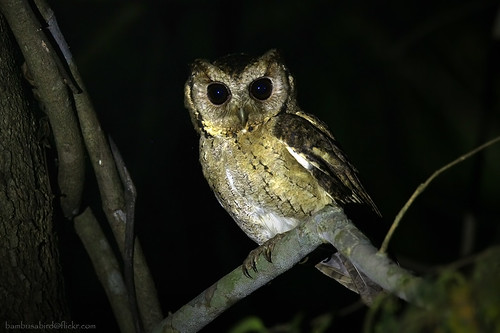 Collared Scops Owl / Otus lettia / นกเค้ากู่ , นกฮูก by bambusabird