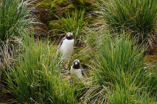 026 Ezelspinguins in tussock