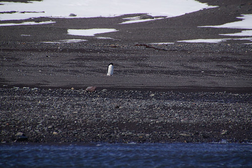062 King George Island - Zodiaccruise Adeliepinguin