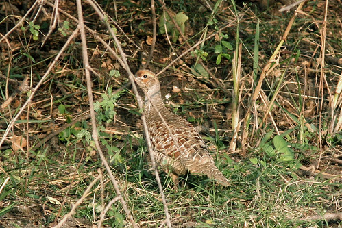 Grey Francolin by Enam Ul Haque