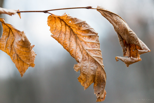 Winter beech leaf