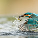 Kingfisher flight by keje2483