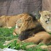 Small photo of African Lions