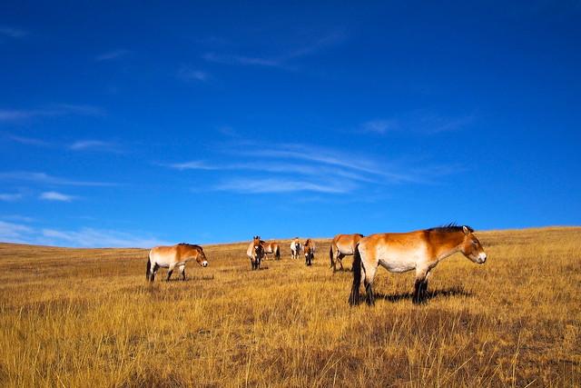 Przewalski's horse, Wild horses,  Khustain Nuruu National Park, Ulaanbaatar, Mongolia