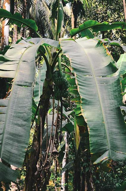Goa - Banana tree   A Brown Table