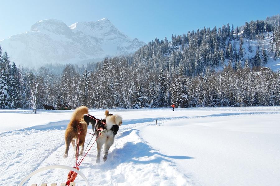 Balade chiens de traineau chiens de traineau (6)