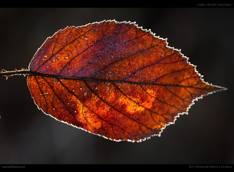 backlit leave
