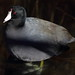 Small photo of American coot