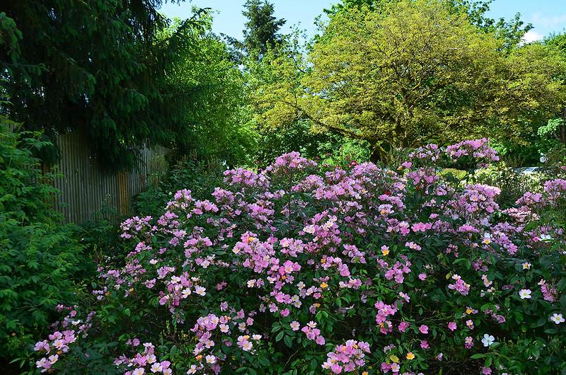 heirloom-roses-8