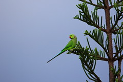 Green parrot on look out