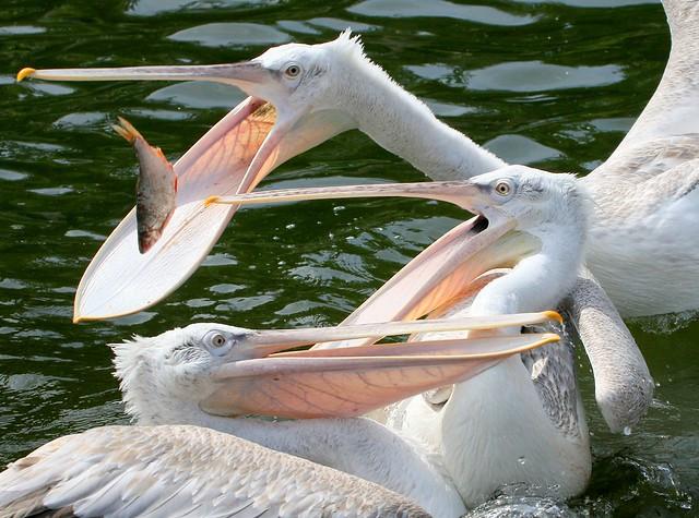 Catch-As-Catch PeliCan