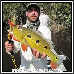 Tucunare-Borboleta, mais um dos belos e esportivos tucunares fisgados na Amazônia. O sol também faz parte do pacote.  #pescaamadora #pescador #pescaria #pescaesportiva #pesqueesolte #amazonia #rionegro #tucuna #tucunare #fishinglures #fishing #sportfishin