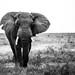 Le vieil éléphant by www.sophiethibault.ca