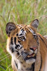 Cub - Tadoba Andhari Tiger Reserve, Maharashtra