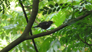 White-Chinned Thrush (Turdus aurantius) in Fairy Hills