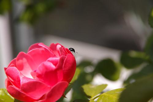 バラと虫その2 by leicadaisuki