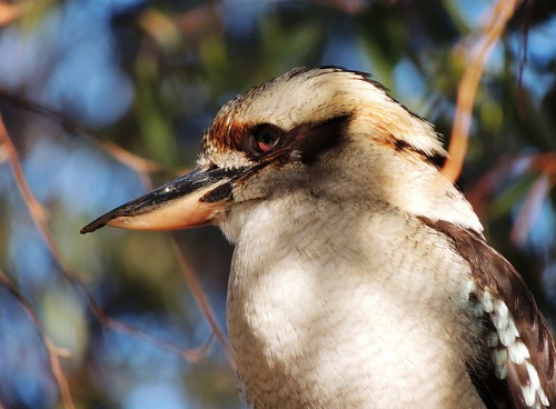 Kookaburra (genus Dacelo)  - I'm not looking at You!