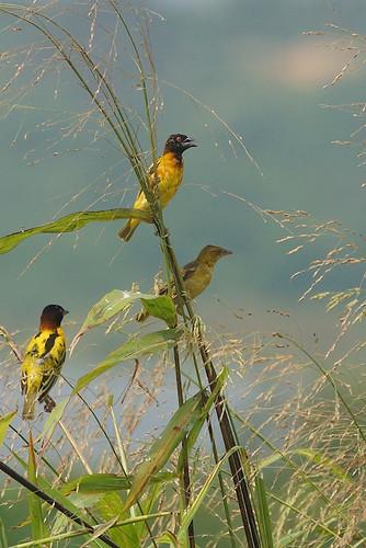 africa bird grass long village seed ghana weaver irrigation accra tema ploceuscucullatus paulinuk99999 sal70400g dawhenya