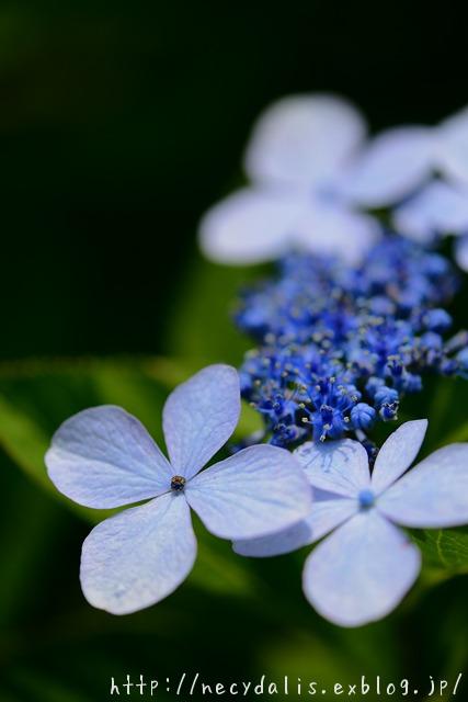 ガクアジサイ [Hydrangea macrophylla]...