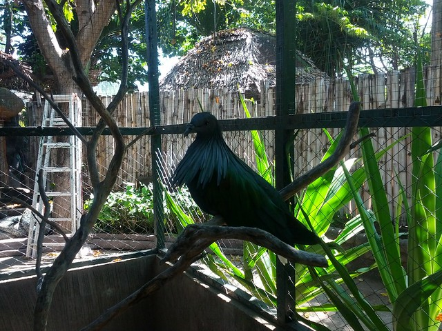 Какой-то породистый голубь