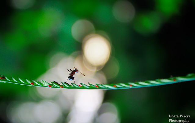 wonder ant