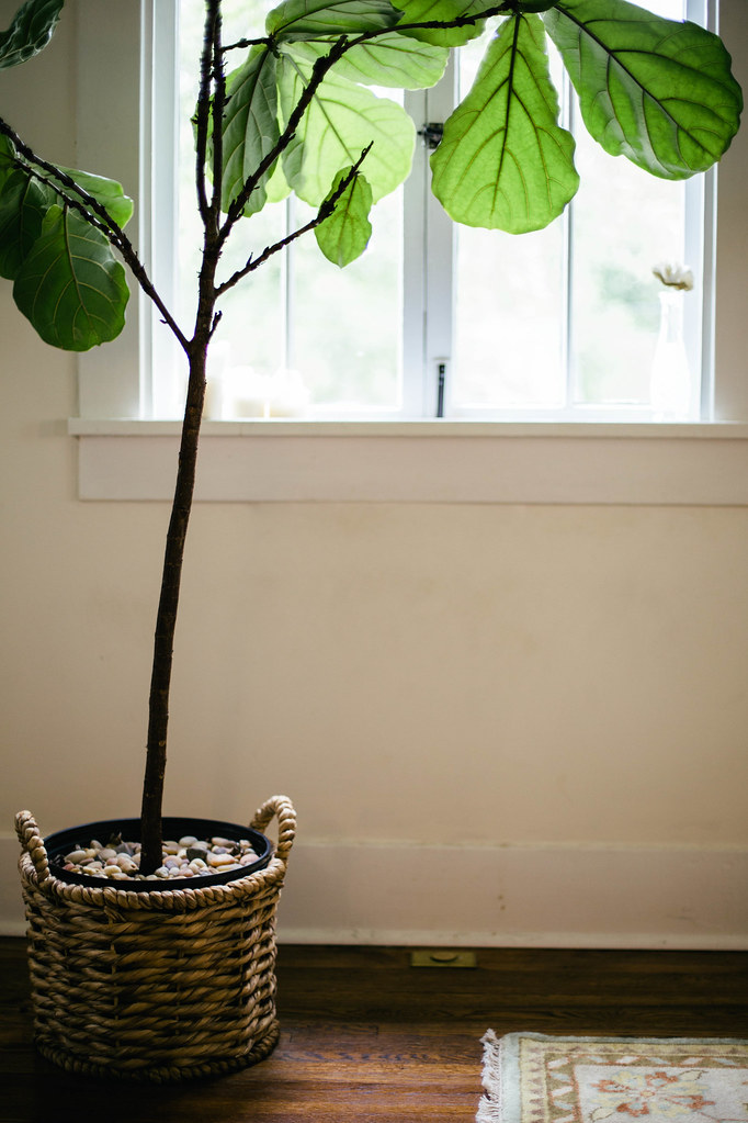 fig ficus