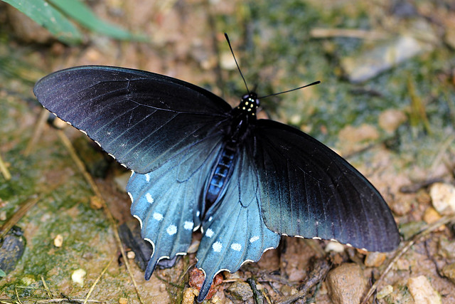 Pipevine Swallowtail Butterfly ( Explored ~ Thank you )