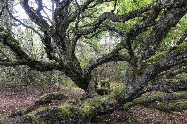 Thagaards plantage - 200 år gammelt birketræ