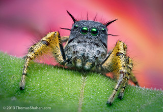 Adult Male Jumping Spider - Phidippus mystaceus