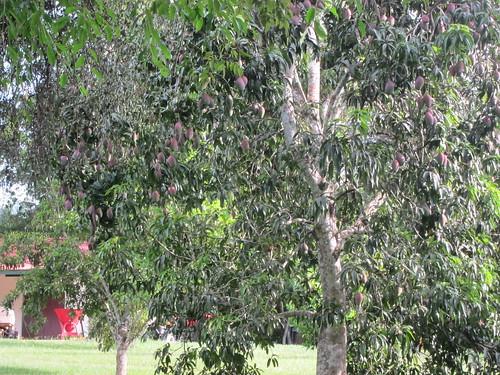 Mango Tree!