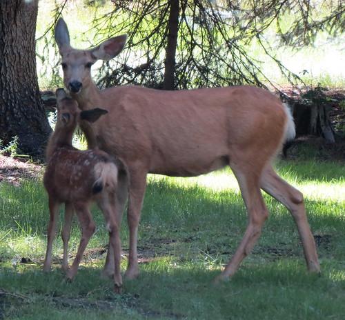 CC deer2
