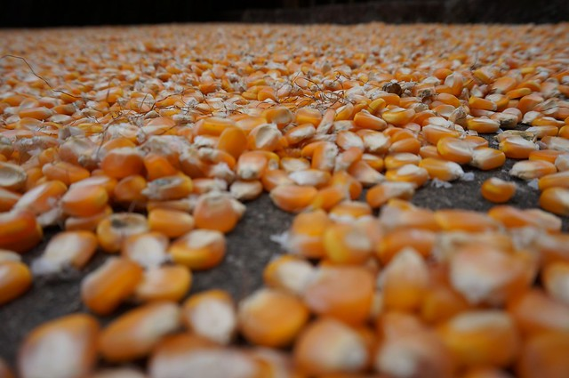 Corn kernels drying in the sun.