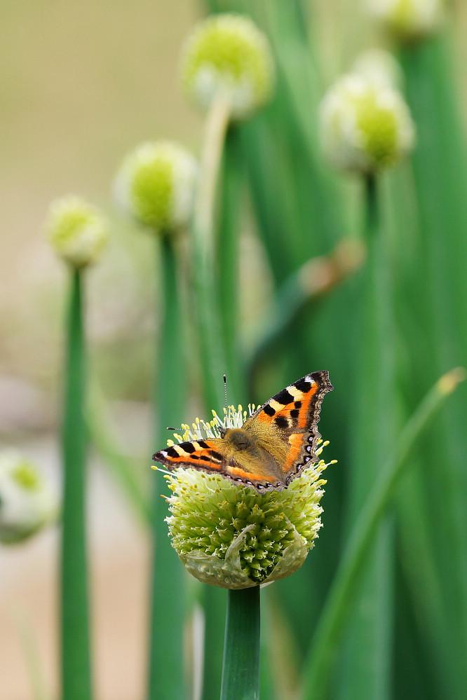 南亞蛺蝶 Aglais kaschmirensis-8
