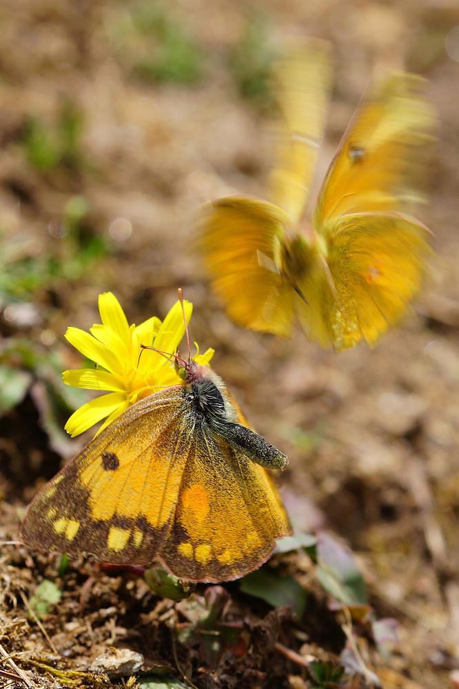 南亞粉蝶 colias fieldii-2