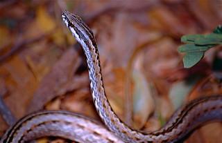 Common Big-eyed Snake (Mimophis mahfalensis)