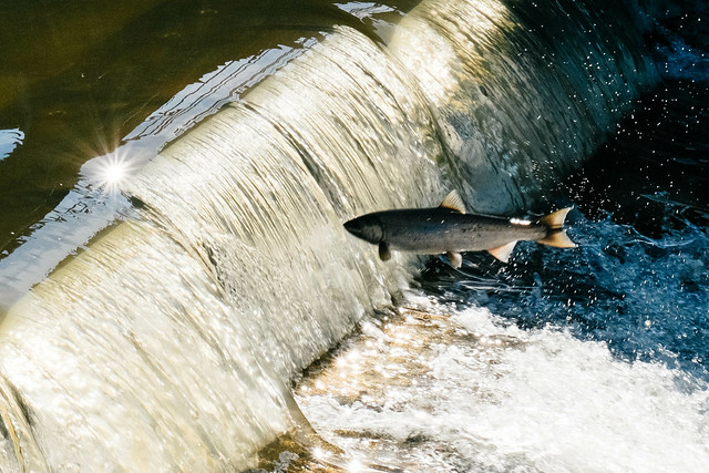 photo of a salmon, jumping