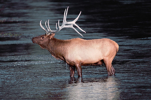 Wildlife in British Columbia, Canada: Elk