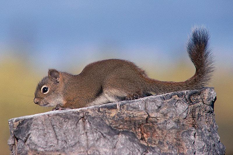 Wildlife in British Columbia, Canada: Red Squirrel