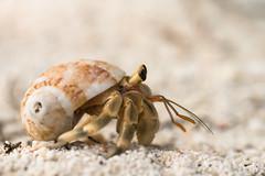 {unidentified} hermit crab - Ko Lipe / Thailand