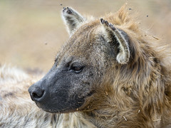 Spotted hyena looking at the side