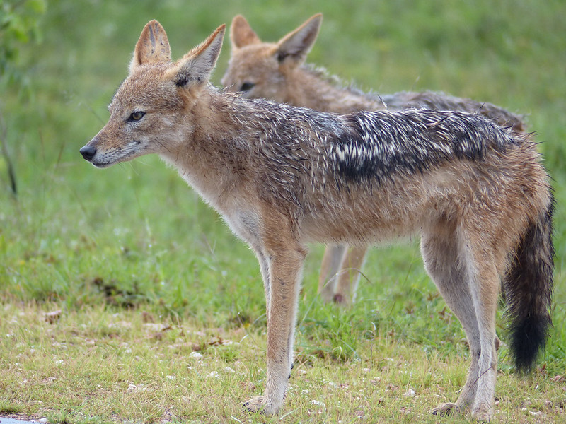 Black-backed Jackals (Canis mesomelas) under rain