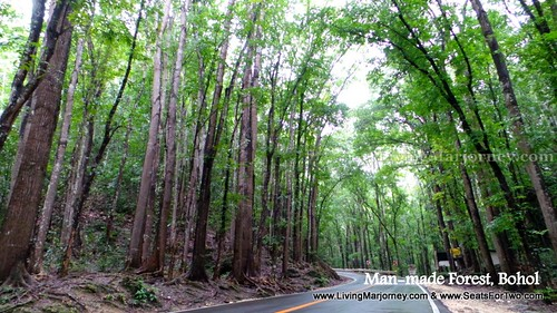 Man-made forest Bohol 2014