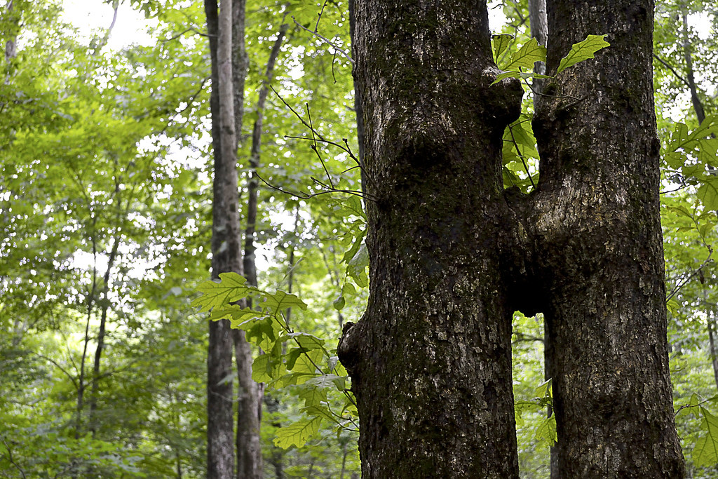 Local Treks: Kissing Trees at Panther Den