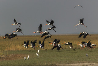 Painted Stork group flying