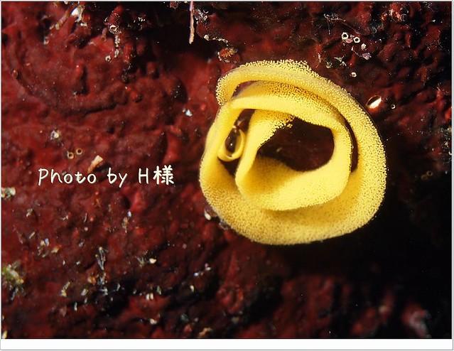 ウミウシのタマゴ
