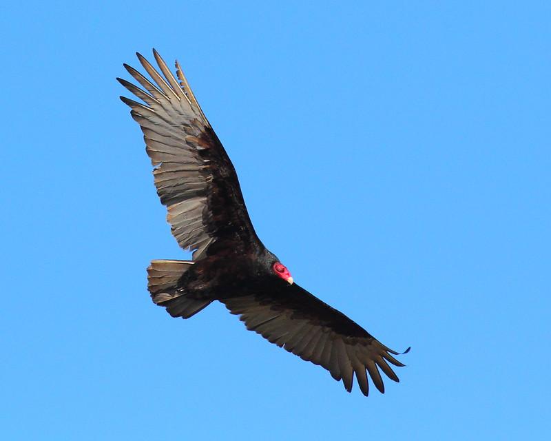IMG_8717 Turkey Vulture