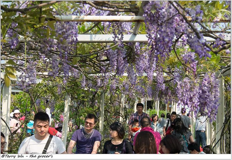 2014-04-05 紫藤花-3