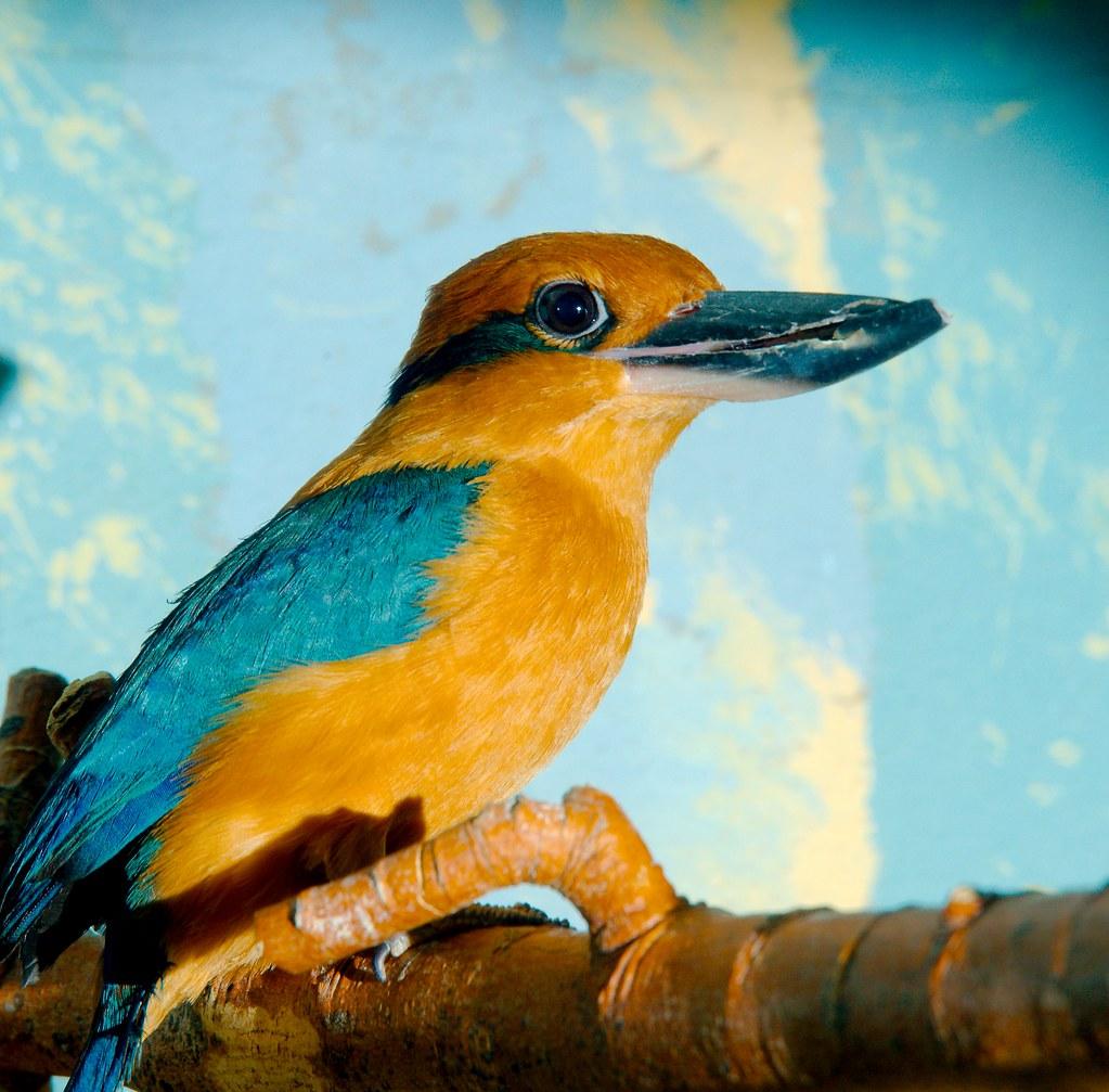 Micronesian Kingfisher (Todiramphus cinnamominus)_2