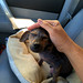 Taking Jordan to his foster home  :-) by Eldad Hagar (Please support Hope For Paws)
